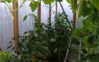 Можно ли выращивать в одной теплице перцы и огурцы в?