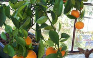 Как выращивать в домашних условиях цитрусовые?