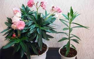 Какие комнатные цветы нежелательно выращивать дома?