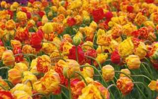 Тюльпаны сорта лучшие