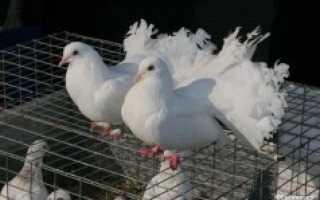 Как выращивать голубей в домашних условиях?
