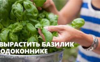 Как выращивать рассаду базилика в домашних условиях?