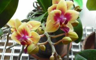 Как правильно выращивать орхидею дома чтобы красиво цвела?