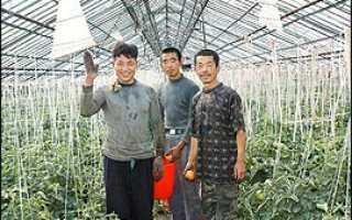 Китайцы выращивают огурцы в свердловской области