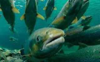 Выращиваем лосося в домашних условиях