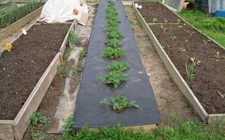 Как выращивать клубнику под черным укрывным материалом?