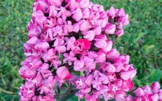 Фиолетовые флоксы лучшие сорта