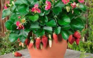 Клубника балконный поток ампельная как выращивать