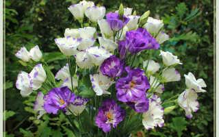 Как выращивать эустому в домашних условиях?