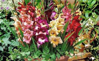 Можно ли выращивать гладиолусы летом в горшках в саду?