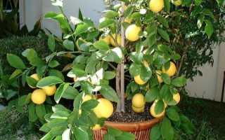 Как выращивать лимон в домашних условиях мейера?