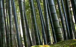 Выращиваем бамбук в домашних условиях