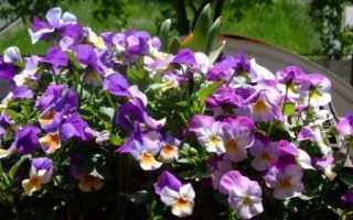 Как выращивать виолу из семян в домашних условиях на рассаду?