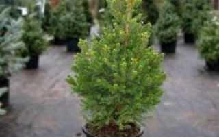 Как выращивать елку в домашних условиях?