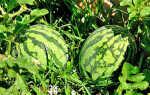 Как выращивать арбузы в открытом грунте в поволжье?
