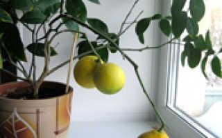 Выращиваем лимон из косточки в домашних