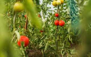 Лучшие сорта непасынкующихся томатов