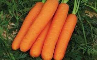 Лучшие сорта крупной моркови