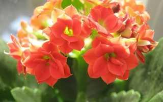 Как выращивать каланхоэ цветущий в домашних условиях?