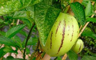 Как выращивать пепино в домашних условиях?