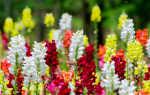 Можно ли львиный зев выращивать как комнатный цветок?