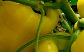 Как правильно выращивать перец в открытом грунте?