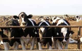 Как выращивать телят на мясо в домашних условиях?