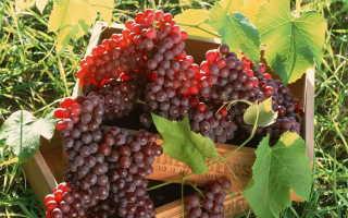 Как правильно выращивать виноград в нижегородской области?