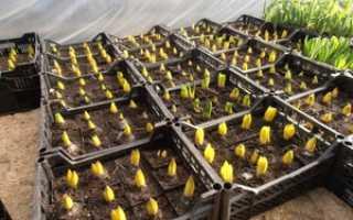 Выращивать тюльпаны в домашних условиях