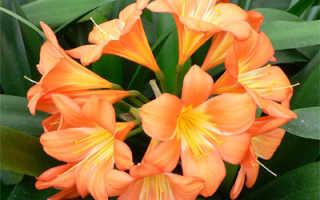 Как выращивать кливию в домашних условиях?
