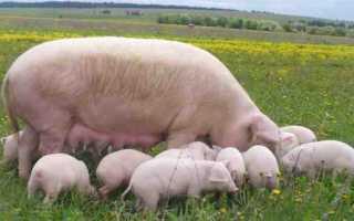 Как выращивать свиней в домашних условиях для себя?
