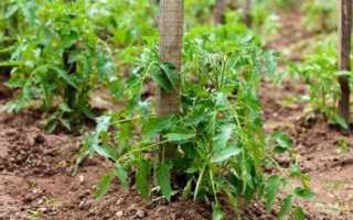Сорта томатов выращиваемых безрассадным способом