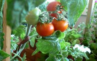Как правильно выращивать огурцы зимой на подоконнике?