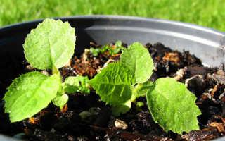 Все о киви фрукт как выращивать в домашних условиях