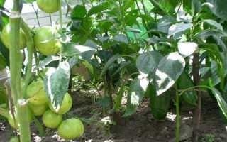 Можно ли выращивать помидоры с перцем в одной теплице?