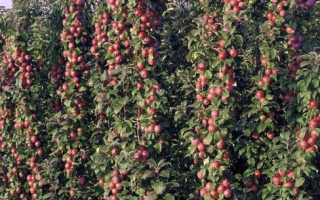 Яблоня колоновидная лучшие сорта