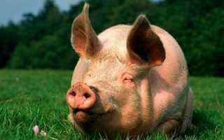 Сколько свиней можно выращивать в домашних условиях