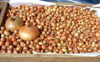 Как выращивать лук севок в домашних условиях?