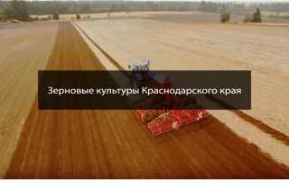 Какие зерновые культуры выращивают в краснодарском крае?