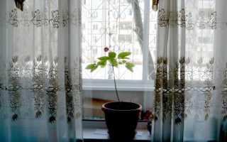 Можно ли в домашних условиях выращивать женьшень?