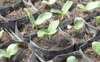 Как выращивать рассаду кабачков в домашних условиях?