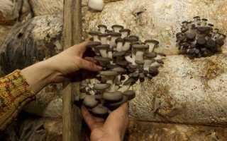 Как в подвале выращивать вешенки в домашних условиях в мешках?