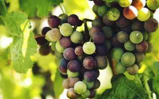 Лучшие сорта беседочного винограда