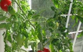 Выращивать помидоры в домашних условиях