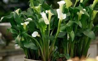 Как выращивать каллы в домашних условиях из семян?