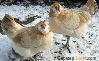 Как выращивать кур несушек в домашних условиях зимой?