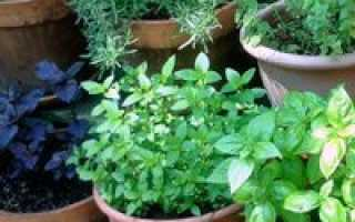 Какие травы можно выращивать на подоконнике круглый год?