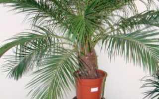 Выращиваем финики в домашних условиях