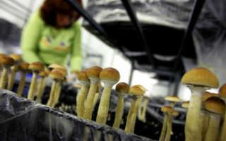 Вредно ли выращивать грибы в домашних условиях