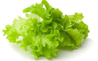 Как выращивать салат в домашних условиях зимой?